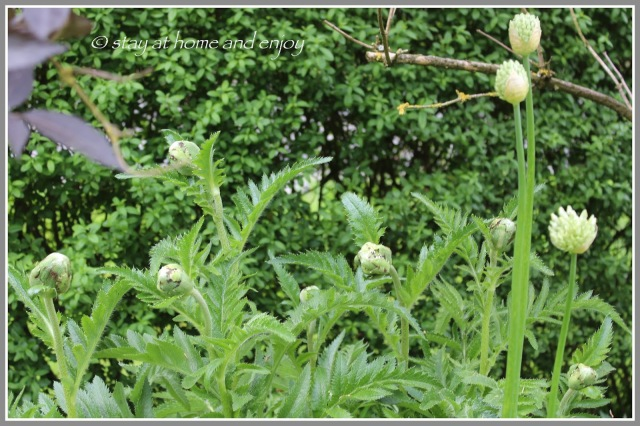 Allium - Papaver orientale 'Beauty of Livermere' - stay at home and enjoy