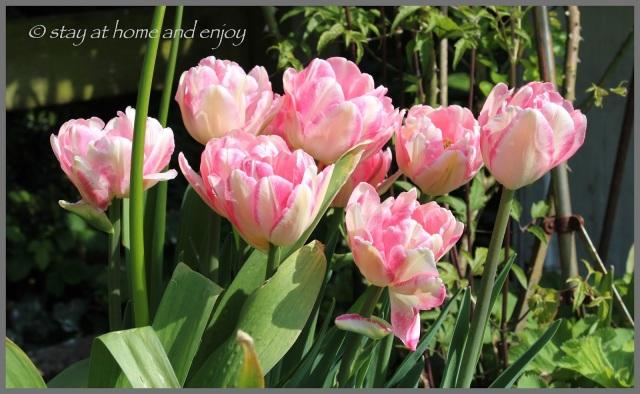 Tulpen Foxtrott