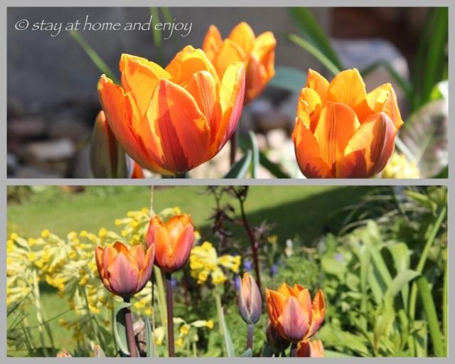 Tulpen Princess Irene