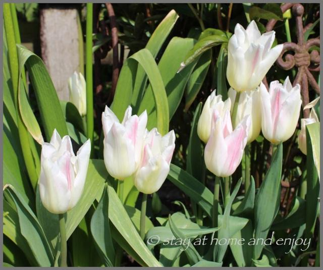 Tulpen Holland chic