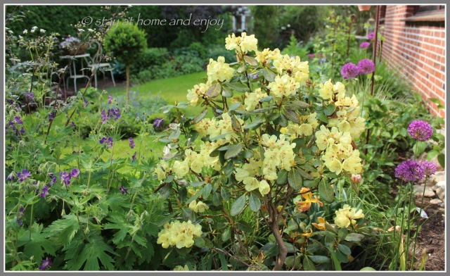 Frühling - Rhododendron 'Goldbukett' - stay at home and enjoy