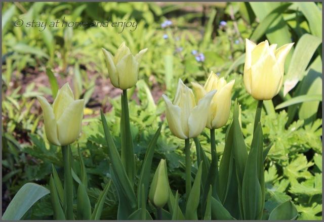 Tulpen Kiwanis