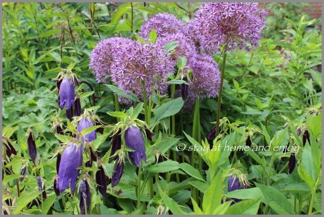 Allium 'Globemaster' und Campanula 'Sarastro' - stayat home and enjoy
