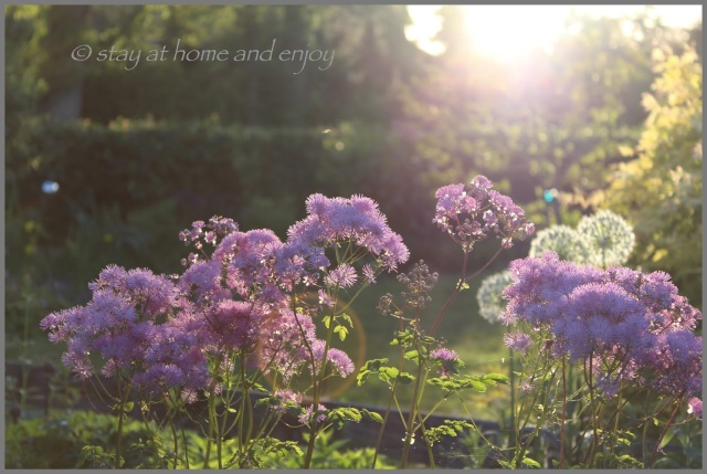 Thalictrum - stay at home and enjoy
