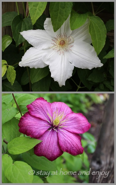 Clematis John Huxtable und Clematis Niobe - stay at home and enjoy