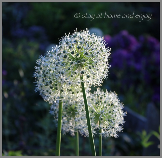 Allium - stay at home and enjoy