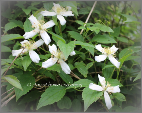 Clematis montana var. Wilsonii - stay at home and enjoy