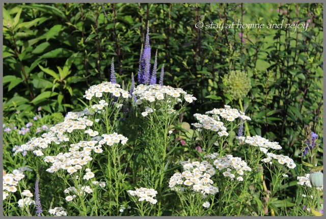Achillea ptarmica 'Tante Stientje' und Veronicastrum - stay at home and enjoy