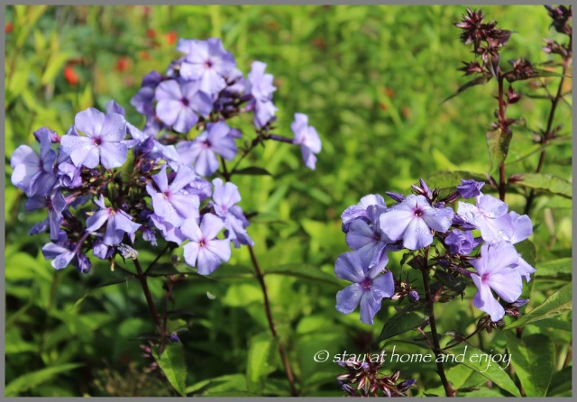 Phlox 'Blue Paradise' - stay at home and enjoy