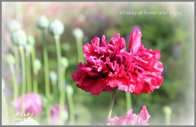 Papaver somniferum - stay at home and enjoy