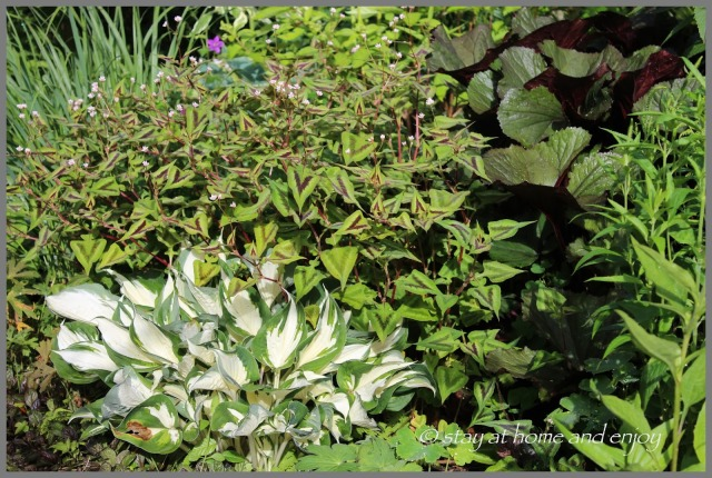 Persicaria microcephalia 'Purlple Fantasy' - Hosta 'Fire and Ice' - Ligularia ''Britt-Marie Crawford - stay at home and enjoy