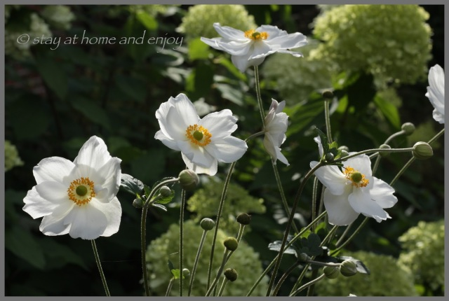 Anemone 'Honorine Jobert' - stay at home and enjoy