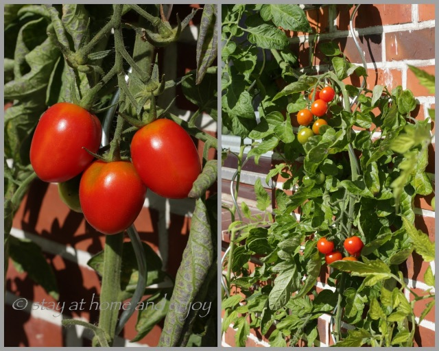 Tomaten im Topf - stay at home and enjoy