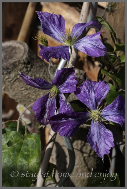 Clematis Tie Dye - stay at home and enjoy